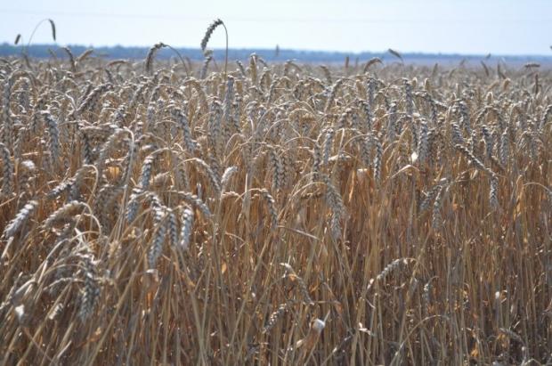 Россия, Украина и Казахстан могут контролировать до 30% мирового рынка зерна